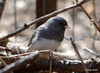 DSC_2311 Dark-eyed Junco Apr 17 2014