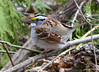 DSC_2830 White-throated Sparrow Apr 27 2014