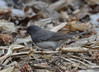 DSC_2502 Dark-eyed Junco Apr 21 2014