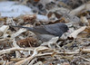 DSC_2503 Dark-eyed Junco Apr 21 2014