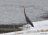 DSC_2011 Great Blue Heron Apr 11 2014