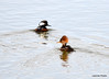DSC_1871 Hooded Mergansers Apr 10 2014