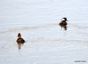 DSC_1872 Hooded Mergansers Apr 10 2014