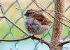 DSC_2842 White-throated Sparrow Apr 27 2014