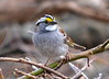DSC_2848 White-throated Sparrow Apr 27 2014