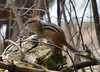 DSC_2302 Dark-eyed Junco Apr 17 2014