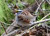 DSC_2831 White-throated Sparrow Apr 27 2014