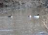 DSC_2274 Common Mergansers Apr 17 2014