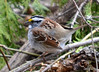 DSC_2832 White-throated Sparrow Apr 27 2014