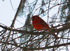 DSC_0770 Northern Cardinal Feb 15 2014