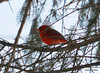 DSC_0769 Northern Cardinal Feb 15 2014