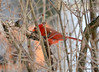 DSC_0768 Northern Cardinal Feb 15 2014