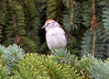 DSC_6288 Chipping Sparrow July 17 2014
