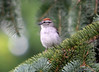 DSC_6287 Chipping Sparrow July 17 2014
