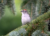 DSC_6285 Chipping Sparrow July 17 2014