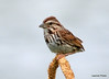 DSC_6104 Song Sparrow July 17 2014
