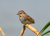 DSC_6103 Song Sparrow July 17 2014
