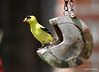 DSC_5876 American Goldfinch July 6 2014