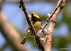 DSC_5304 Black-throated Green Warbler June 16 2014