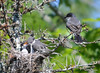 DSC_5673 Eastern Kingbird June 27 2014