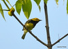 DSC_5308 Black-throated Green Warbler June 16 2014