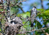 DSC_5675 Eastern Kingbird June 27 2014