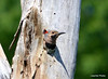 DSC_5427 Northern Flicker June 22 2014