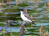 DSC_5565 Eastern Kingbird June 27 2014