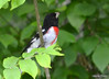 DSC_5154 Rose-breasted Grosbeak June 15 2014