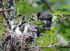 DSC_5670 Eastern Kingbird June 27 2014