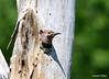 DSC_5426 Northern Flicker June 22 2014