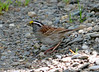DSC_5247 White-throated Sparrow June 16 2014