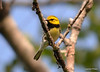 DSC_5305 Black-throated Green Warbler June 16 2014