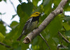 DSC_5257 Black-throated Green Warbler June 16 2014