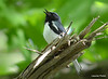 DSC_5288 Black-throated Blue Warbler June 16 2014