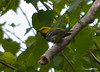 DSC_5259 Black-throated Green Warbler June 16 2014