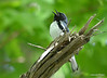 DSC_5283 Black-throated Blue Warbler June 16 2014