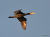 DSC_4947 Double-crested Cormorant June 6 2014