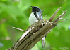DSC_5284 Black-throated Blue Warbler June 16 2014