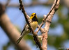 DSC_5307 Black-throated Green Warbler June 16 2014