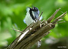 DSC_5289 Black-throated Blue Warbler June 16 2014