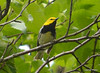 DSC_5262 Black-throated Green Warbler June 16 2014
