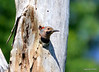 DSC_5424 Northern Flicker June 22 2014