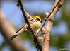 DSC_5303 Black-throated Green Warbler June 16 2014