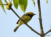 DSC_5311 Black-throated Green Warbler June 16 2014