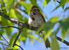 DSC_5423 Song Sparrow June 22 2014