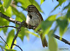 DSC_5422 Song Sparrow June 22 2014