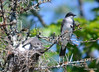 DSC_5674 Eastern Kingbird June 27 2014