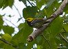 DSC_5260 Black-throated Green Warbler June 16 2014