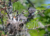 DSC_5669 Eastern Kingbird June 27 2014